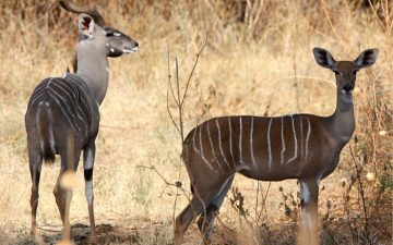 Kudu-Antelope-in-Ruaha-National-Park