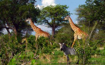 Ruaha-National-Park-giraffes-and-zebra