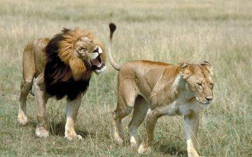 lion_lioness